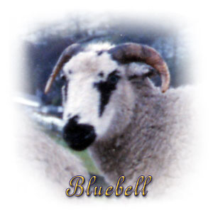 The Digglers' Sheep ~ Bluebell