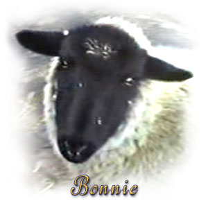 The Digglers' Sheep ~ Bonnie (1)