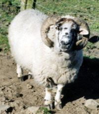 The Digglers' Sheep ~ Clyde