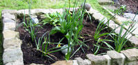 Tulip Shoots In Raised Bed 1.