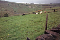 Photo20: Cattle belonging to Thurstons Farm grazing on rented land in Thorns Clough.