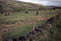 Photo21: The cattle owned by Jim France, grazing in Thorns Clough.